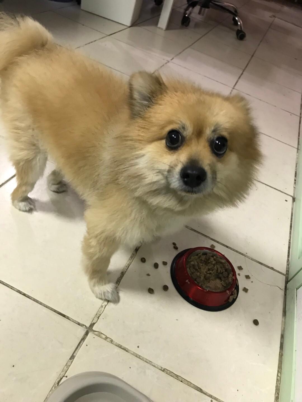求助:我家小狗丢了 ! ! 他丢在国际城温超前面的篮球场!他
